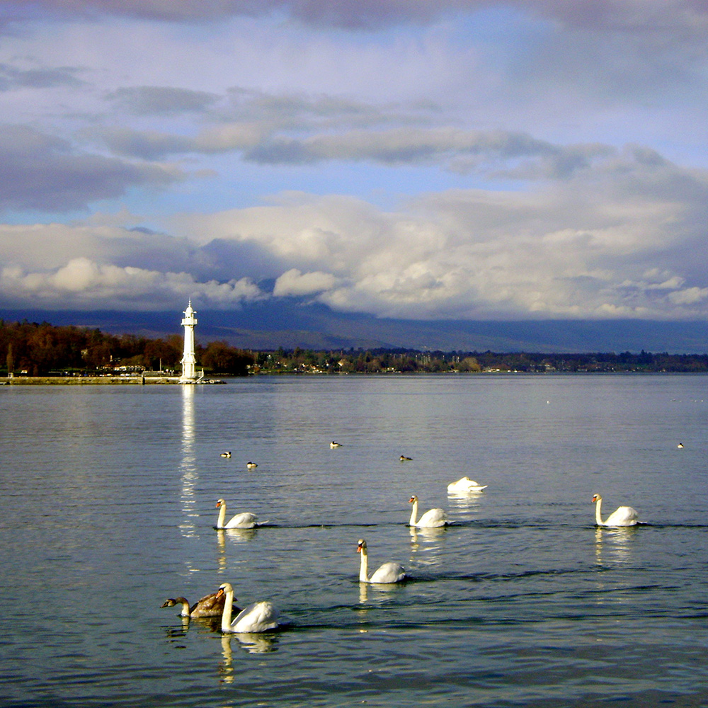 Geneva, Lake, Swans, pickpocket