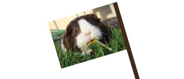 Guinea Pig Flag