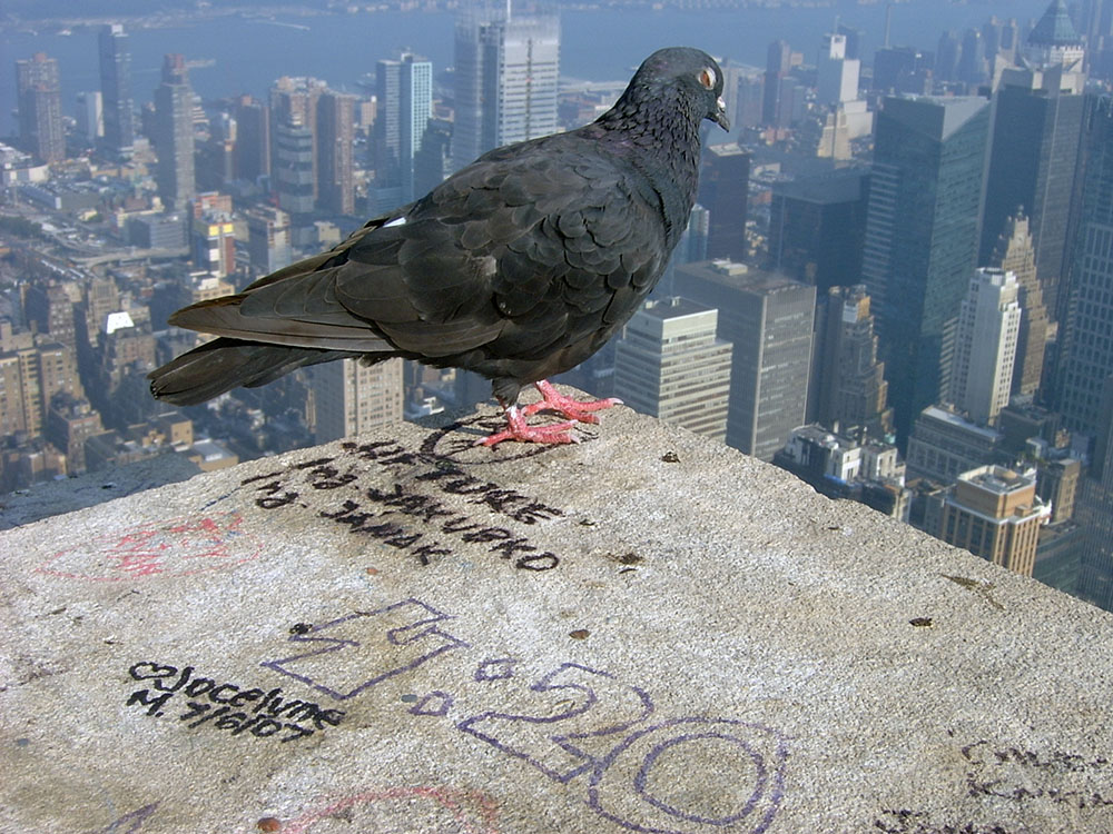 New York, Empire State pigeon