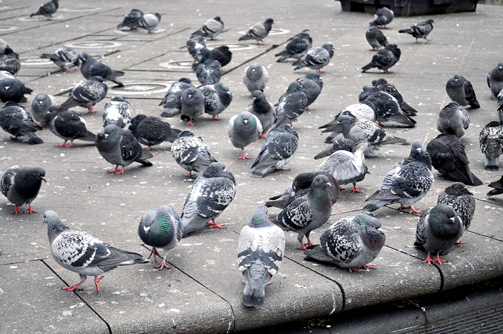 The-Mayfairy-Manchester-Pigeons-2